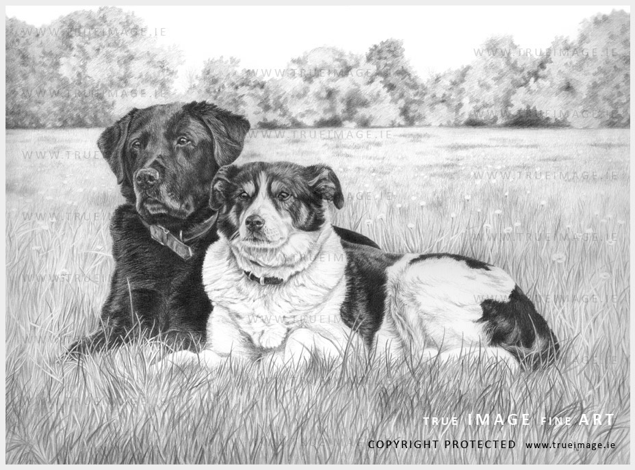 dog portraits in graphite pencil on Fabriano paper - black labrador and collie