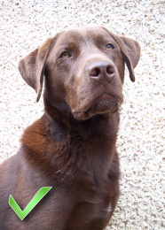Chocolate labrador photo - pet portraits from your photographs, Ireland
