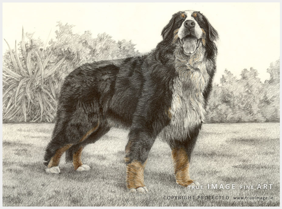tinted dog portraits in coloured and graphite pencil on paper - bernese mountaing dog