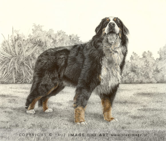 bernese mountain dog tinted portrait