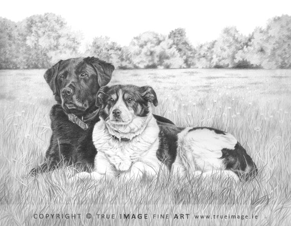 labrador and collie dog portrait in pencil