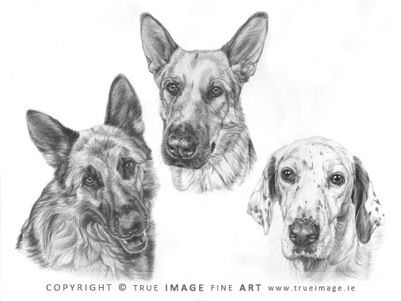 german shepherds and dalmatian portrait in pencil
