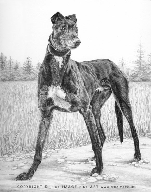 greyhound portrait in pencil