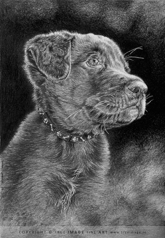 chocolate labrador puppy in pencil
