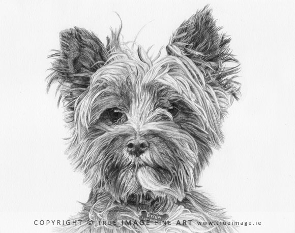 norwich terrier portrait in pencil