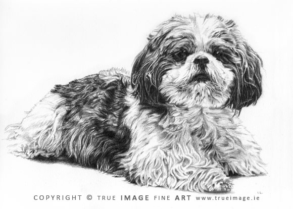 shih tzu portrait in pencil
