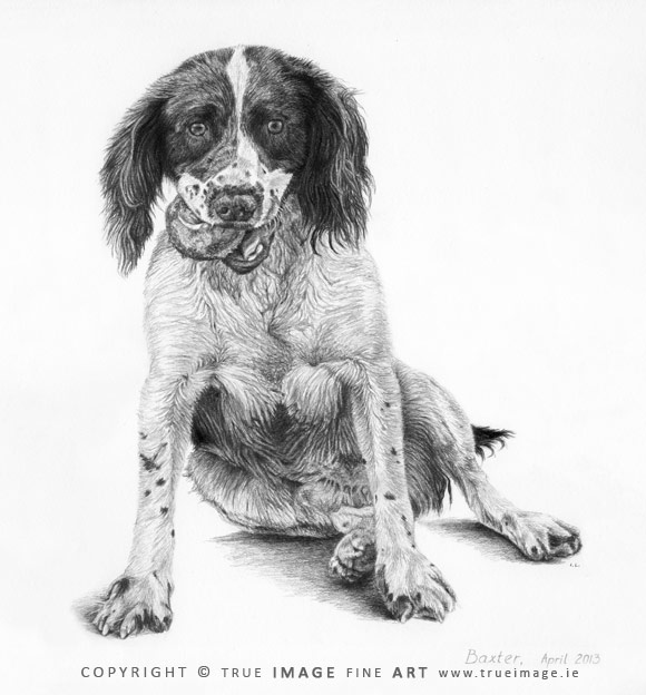 springer spaniel portrait in pencil