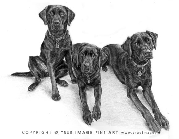 three black labradors portrait in pencil