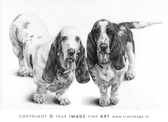 two basset hounds pencil portrait