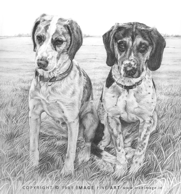 two beagles portrait in pencil