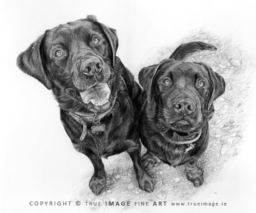 two black labradors portrait in pencil
