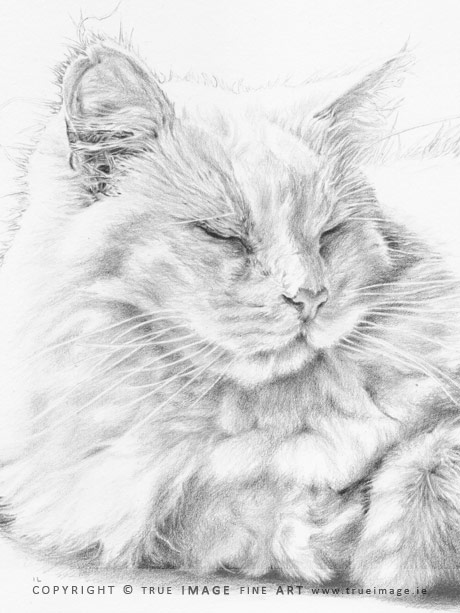 white long-haired cat portrait in pencil