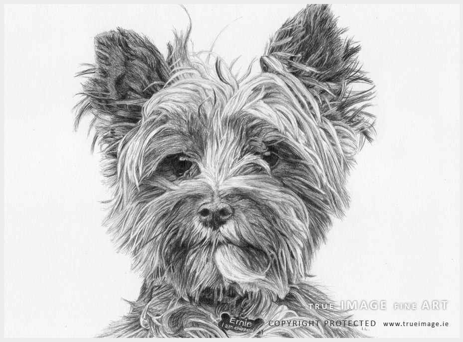 norwich terrier dog portrait in pencil