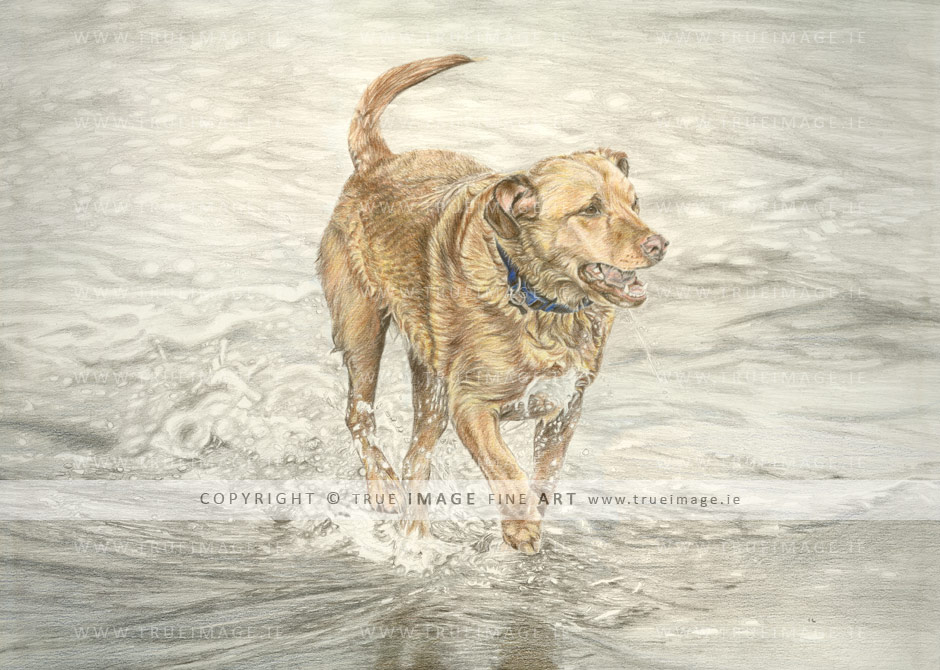 golden-labrador-tinted-pencil-portrait