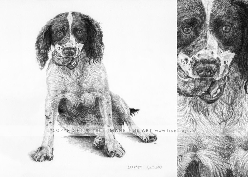 pencil pet portrait of springer spaniel