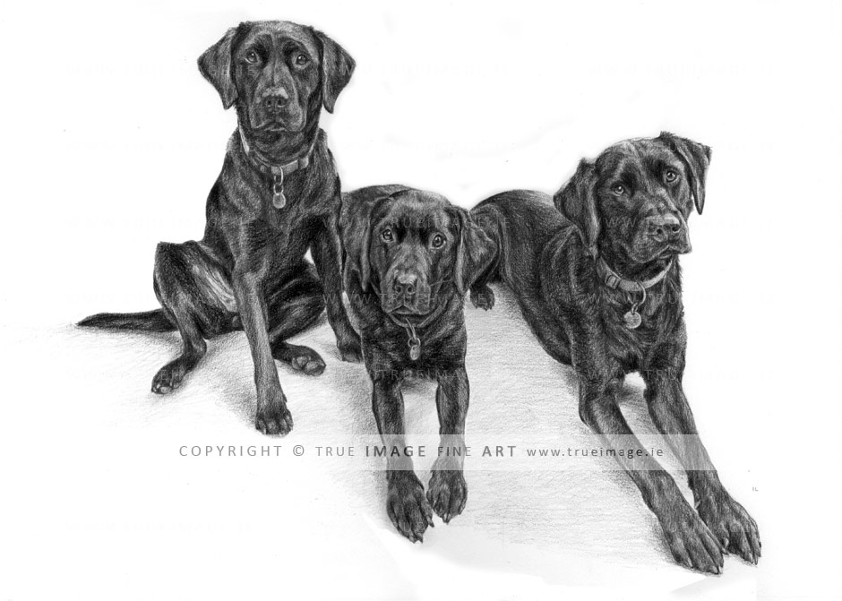 three black labradors pencil pet portrait
