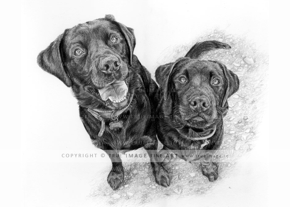 two-black-labradors-pencil-portrait