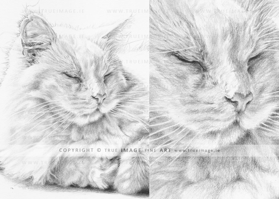 white long-haired cat portrait drawing