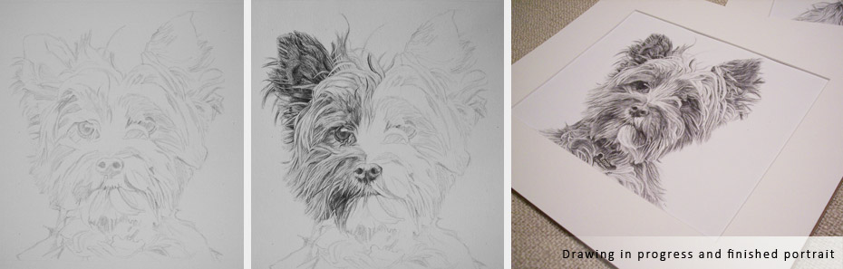 norwich terrier portrait in progress photographs