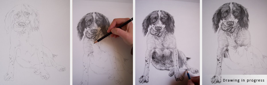 springer-spaniel-portrait-in-progress