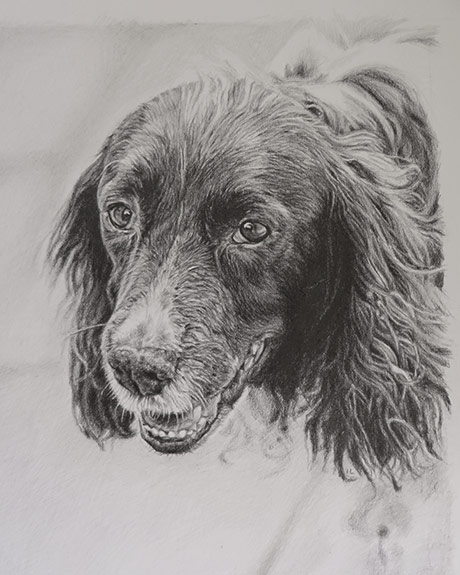 graphite pencil drawing of a springer spaniel dog