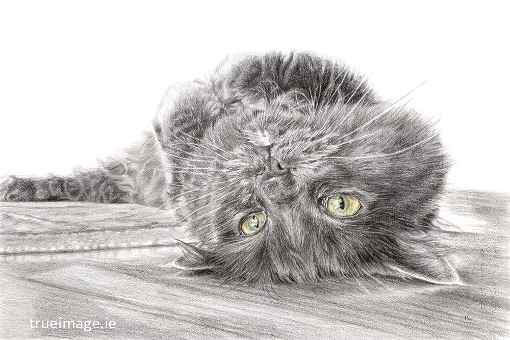 cat pencil drawing from photo